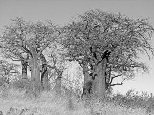 Baobab forest b&w