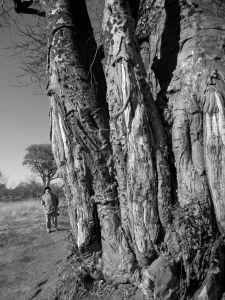 Baobab bark