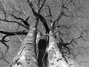 Savuti baobab 2 b&w