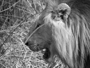 A Lion Walks By b&w