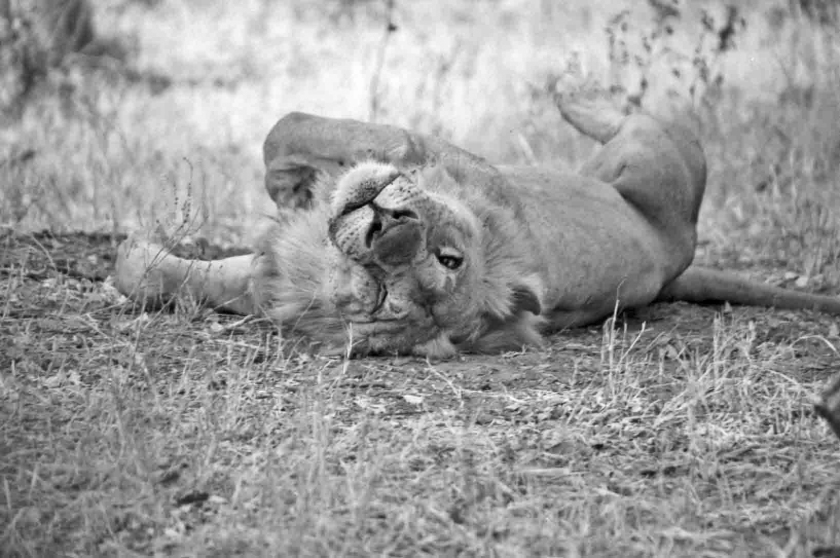 B&W male lion