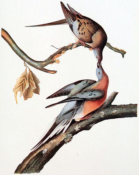 Audubon's Passenger Pigeons