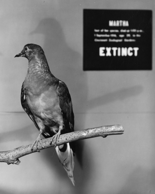 Martha, stuffed and mounted at the Smithsonian