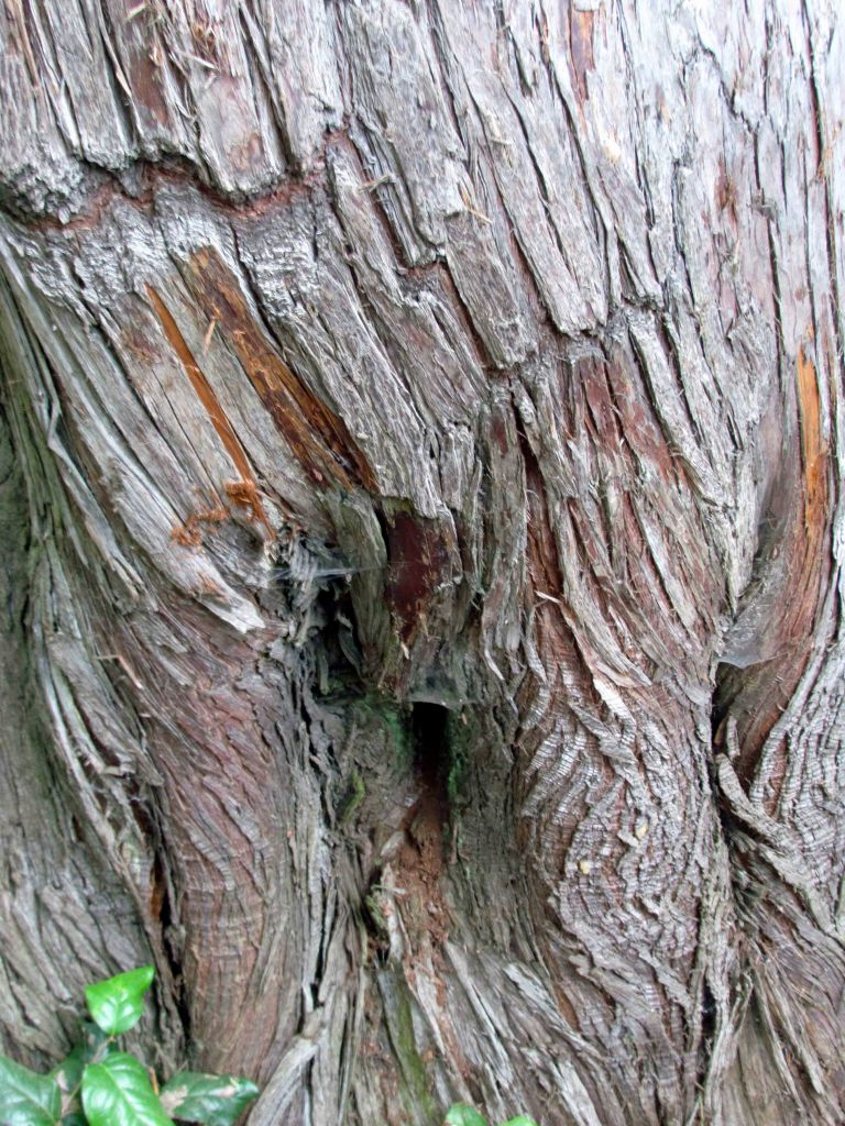Mammoth Cedar female