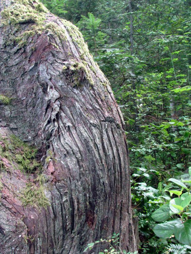 Mammoth in Cedar