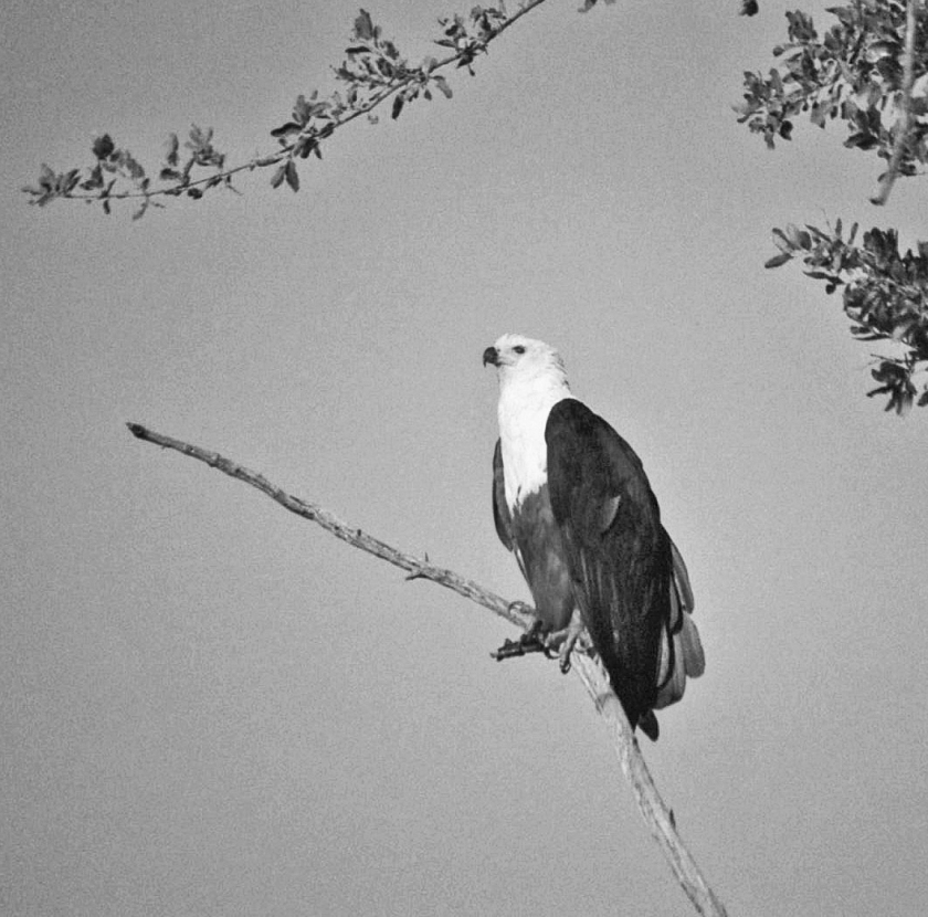 Beaut fish eagle illus b&w