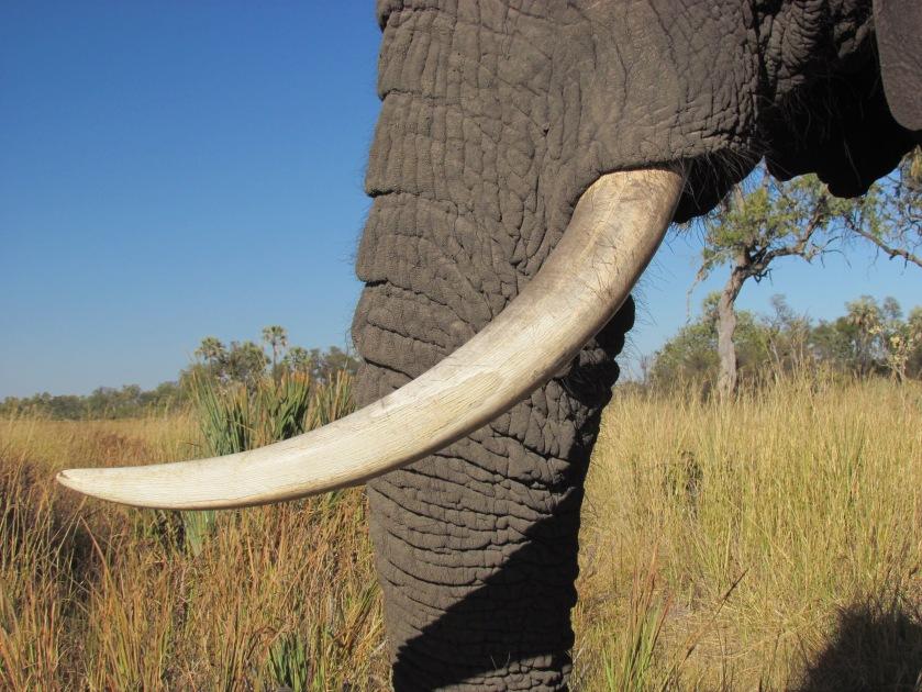 African elephant tusk