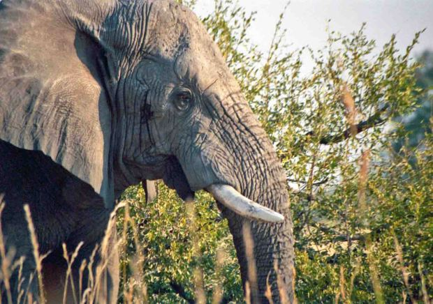 African Elephant photo by Cheryl Merrill
