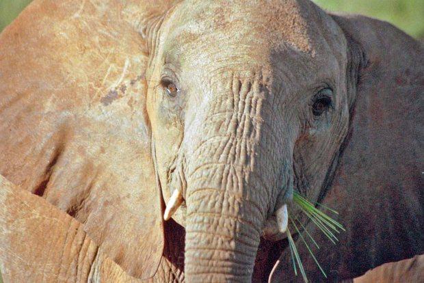 Cow elephant, Samburu, Kenya