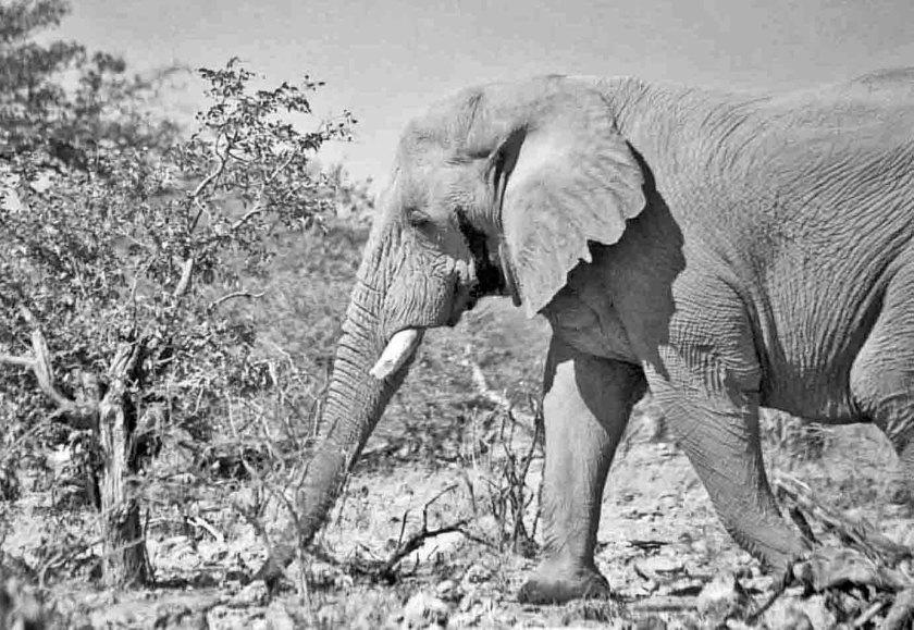 Etosha Male photograph by Cheryl Merrill