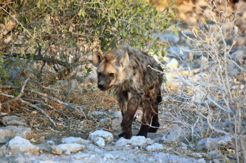 Juvenile Hyena photograph by Cheryl Merrill