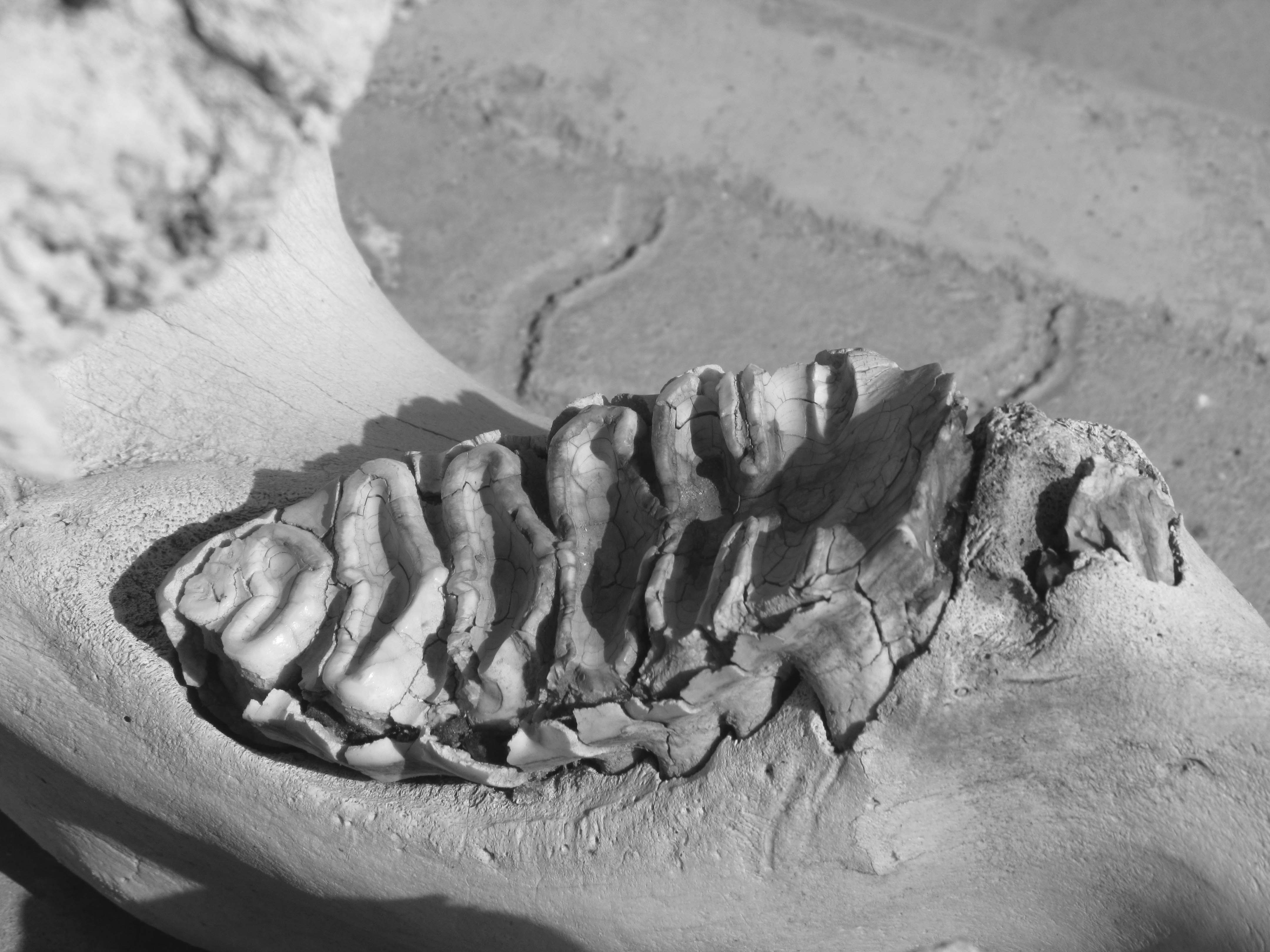 Your Daily Elephant: Molars | ABOUT - 668.6KB
