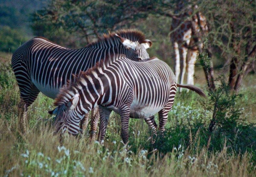 grevys-zebras-giraffe-legs