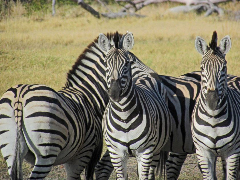 zebra-mowhawks